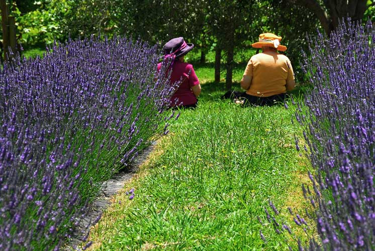 Lavender Farm - Otaki - Wellington